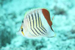 BD-120422-St-Johns-6044-Chaetodon-paucifasciatus.-Ahl.-1923-[Eritrean-butterflyfish].jpg
